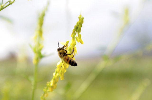 ape-erba-belmonte