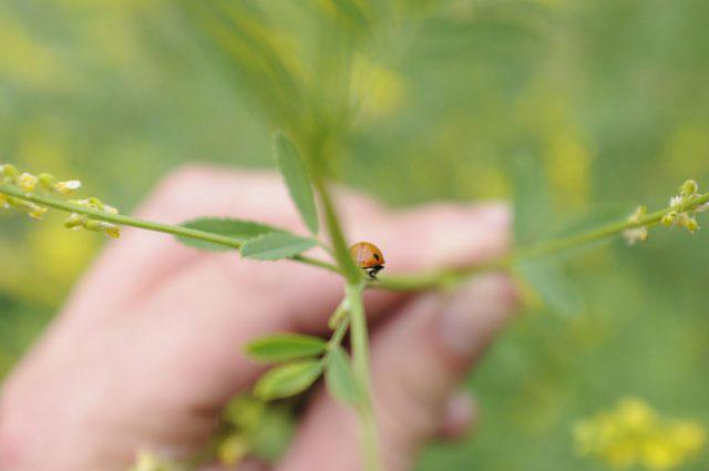 coccinella-erba-belmonte