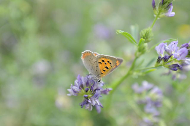 farfalla-erba-belmonte